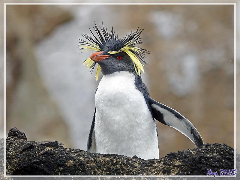 Les derniers Gorfous de Moseley ... - Nightingale Island - Tristan da Cunha