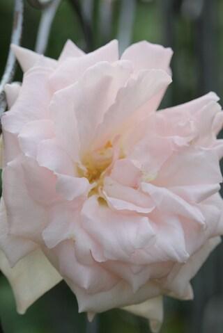 Première rose fleurie en 2015 : Plume d'ange de Meilland