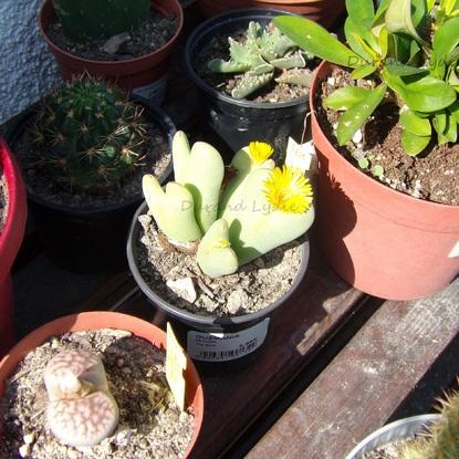 Conophytum Bilobum en fleur