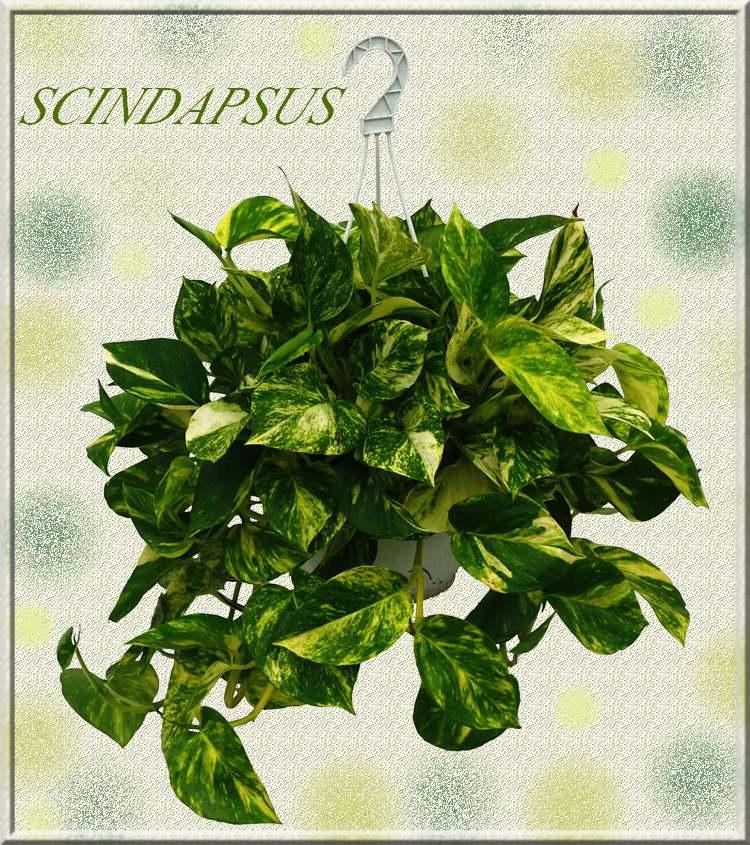 Plantes d'Intérieur : SCINDAPSUS  (Aracées)