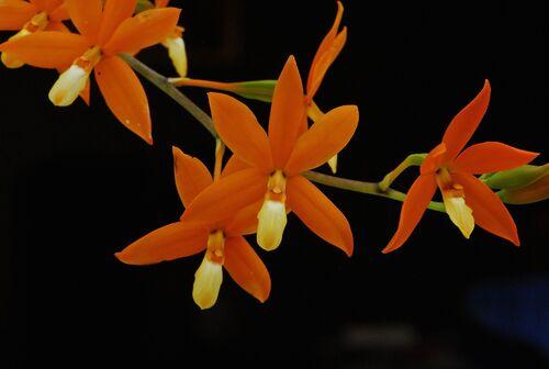 Orchidées de mai.