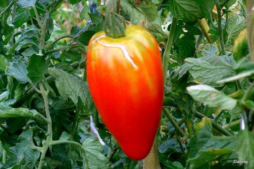 Les tomates du jardin...