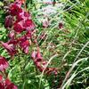Penstemon 'Midnight'