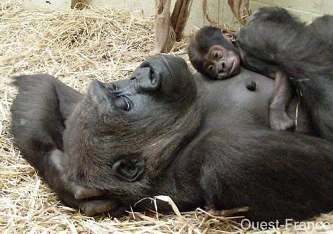 bebe-gorille.jpg