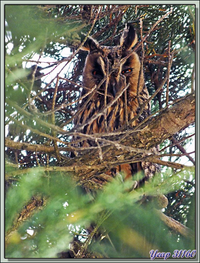 Hibou Moyen-Duc adulte, Long-eared Owl (Asio otus) - Ars-en-Ré - Ile de Ré - 17