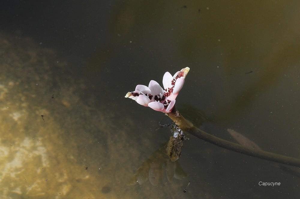 l'Aponogeton, une belle aquatique odorante...