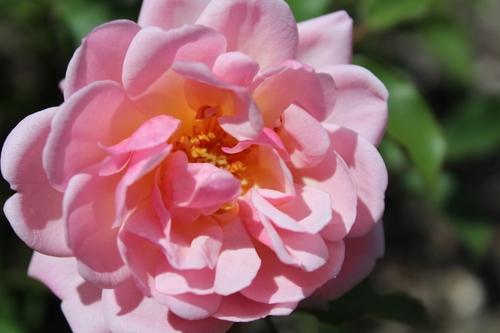Le jardin en nuancier : la couleur rose