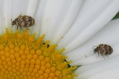 Anthrène du bouillon blanc (Anthrenus verbasci)