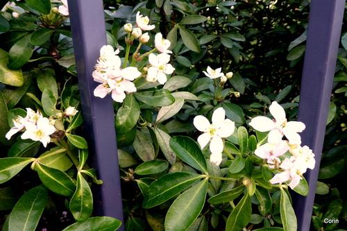 Le choisya fleurit ...
