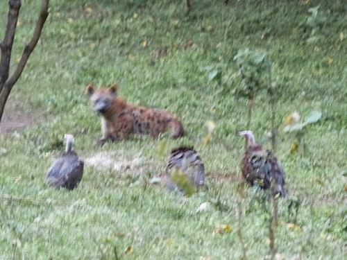 la cérémonie de la nourriture des hyènes