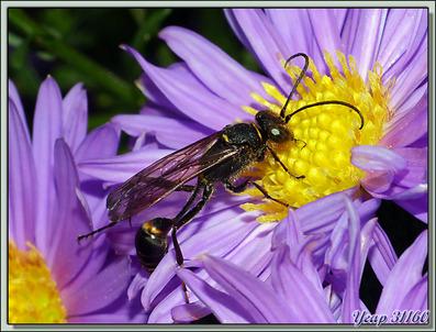 Fin de la saga de la Pélopée courbée (Sceliphron curvatum), guêpe chasseuse d'araignées - Lartigau - Milhas - 31