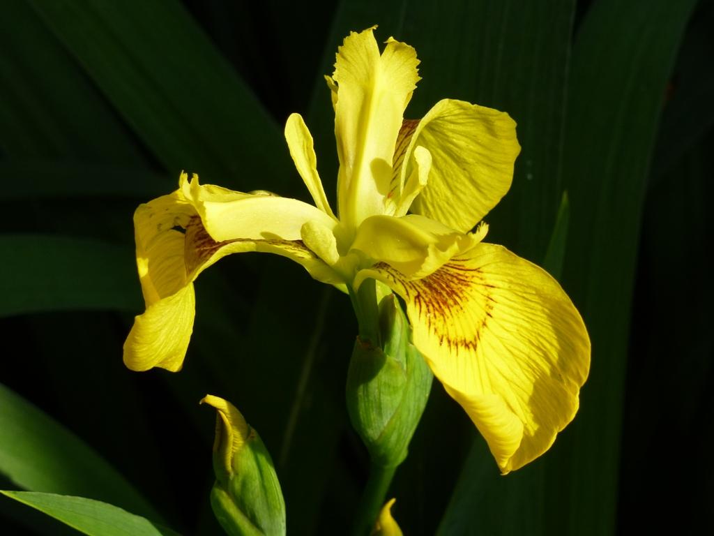 Quelques fleurs ...sauvages et cultivées