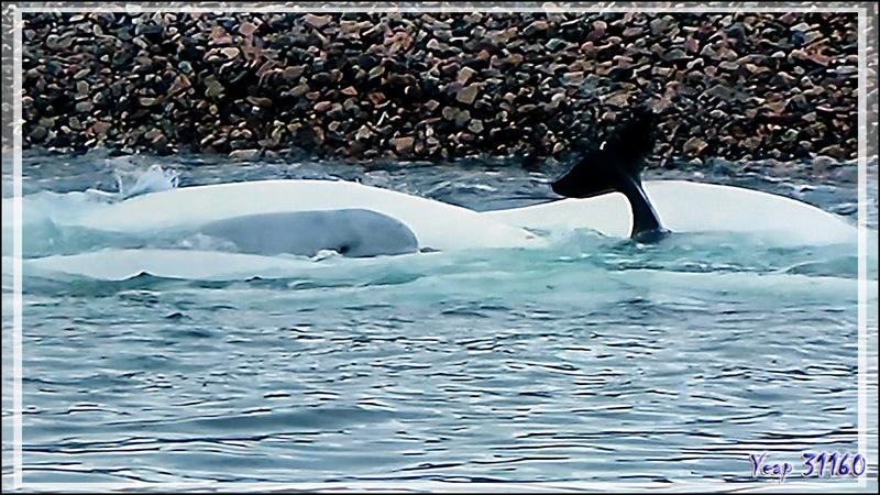 """27 août 2016 : direction Prince of Wales Island , 72° 44' 47"""" Nord, 96° 38' 29"""" Ouest via le détroit de Bellot avec observation de Bélugas (Baleines blanches) - Nunavut - Canada"""