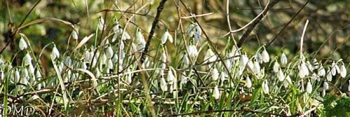 galanthusnivalisa