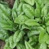 Chenopodiaceae-Spinacia oleraceae