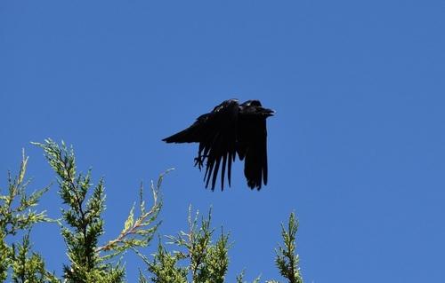 ... corbeau... freux...?