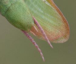 Mante religieuse forme verte mature - Mantis religiosa