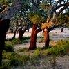 les chênes liège