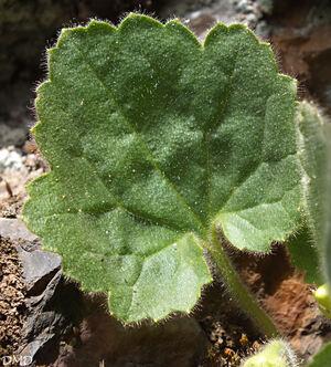 Asarina procumbens - Antirrhinum procumbens  -  asarine couchée