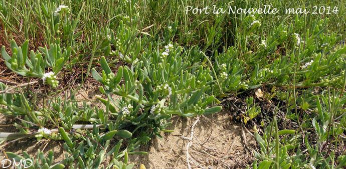 Heliotropium curassavicum  -  héliotrope de Curaçao