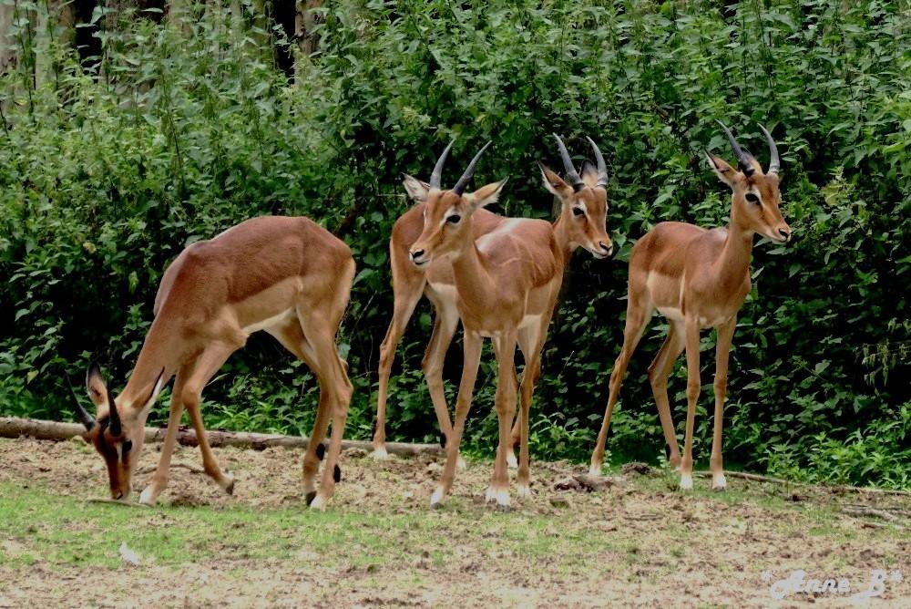 Antilopes