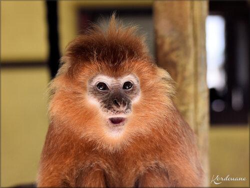 Photos Langur de Java - Zoo d'Arcachon