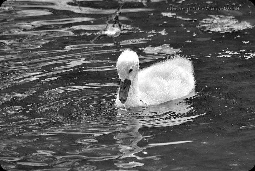 Rambouillet : Photos Nature : Cygne tuberculé