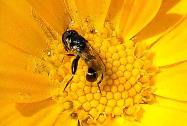 insecte sur fleur de souci