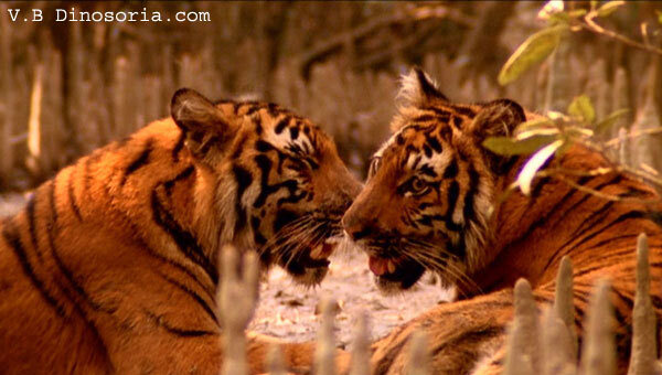 Jeunes tigres royaux