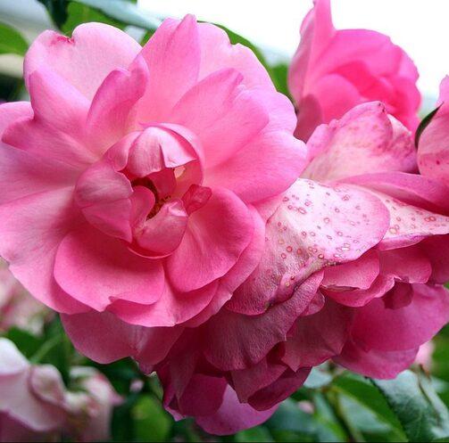 Rose centenaire Lourdes
