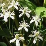 Les clématites du jardin