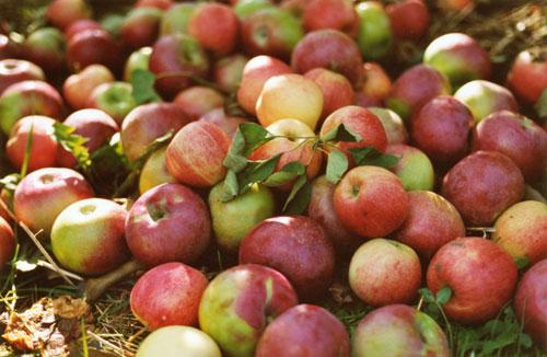 les pommes ...