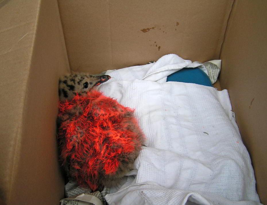 Exemple de maltraitances subies par ces oiseaux : ce poussin de goéland a été bombé avec de la peinture de chantier. Il est à présent en soins et il va s'en tirer.