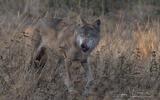 Loup gris - p 340
