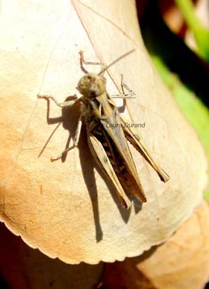 Dociastaurus Marroccanus ou Criquet Marocain