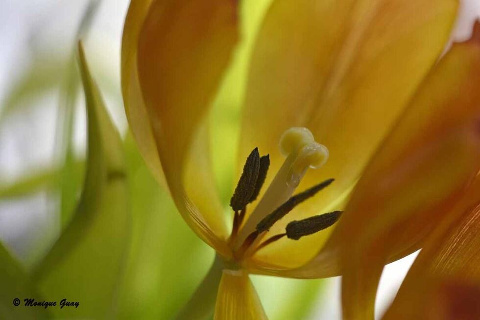 Tulipes en plein coeur