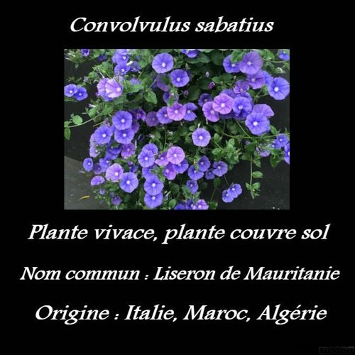 Convolvulus sabatius
