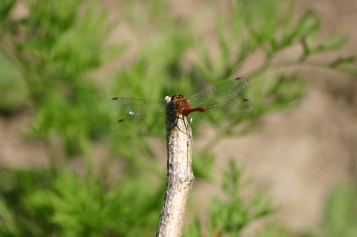 Odelette à la libellule