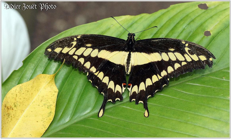 Voilier Géant / Papilio thoas