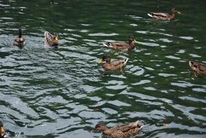 De nombreux petits canards dansent