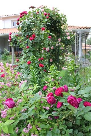 rose Pierre de Ronsard de Meilland