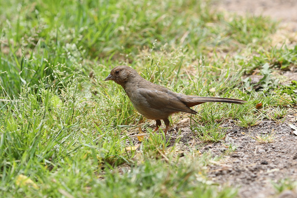 California Towhee - Golden Gate Park