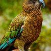 perroquet de montagne de Nouvelle-Zélande