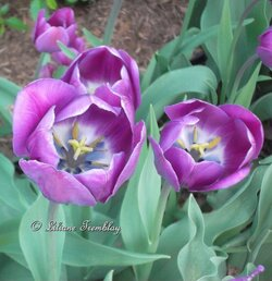 Tulipes Mauves