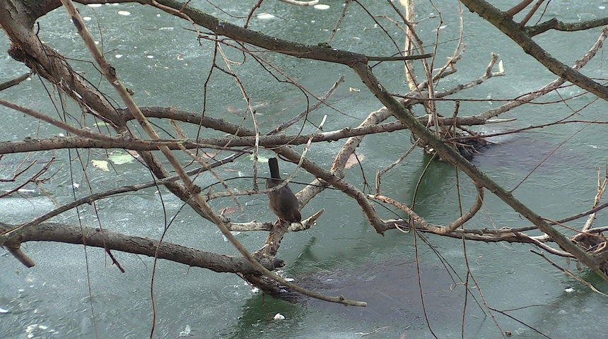 L'hiver des ragondins