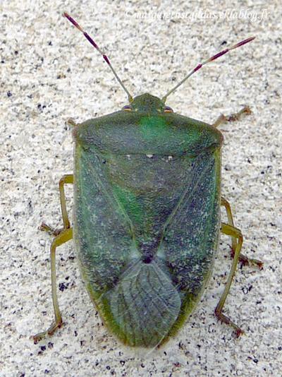 Punaise - Bug