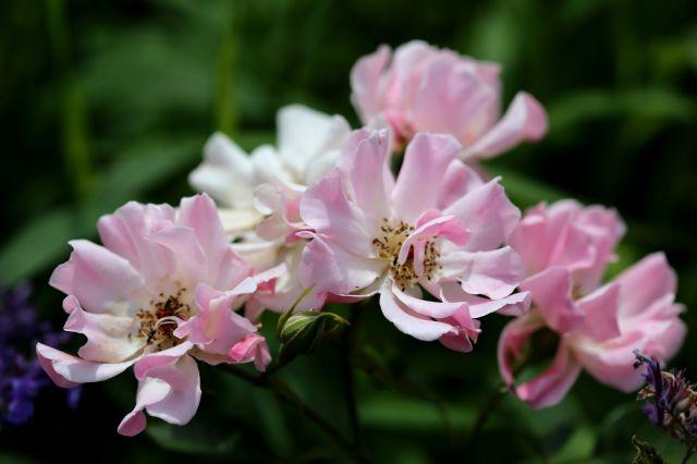Les Roses de Warren : Looking Cute