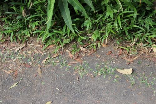 Les fourmis du Costa Rica