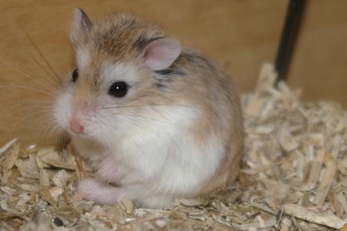 Prénoms hamster roborovski