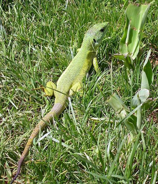 516px-Green lizard